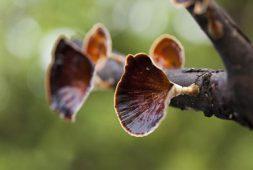 ganoderma-reishi-mushroom-a-powerful-natural-medicine-for-body-and-mind