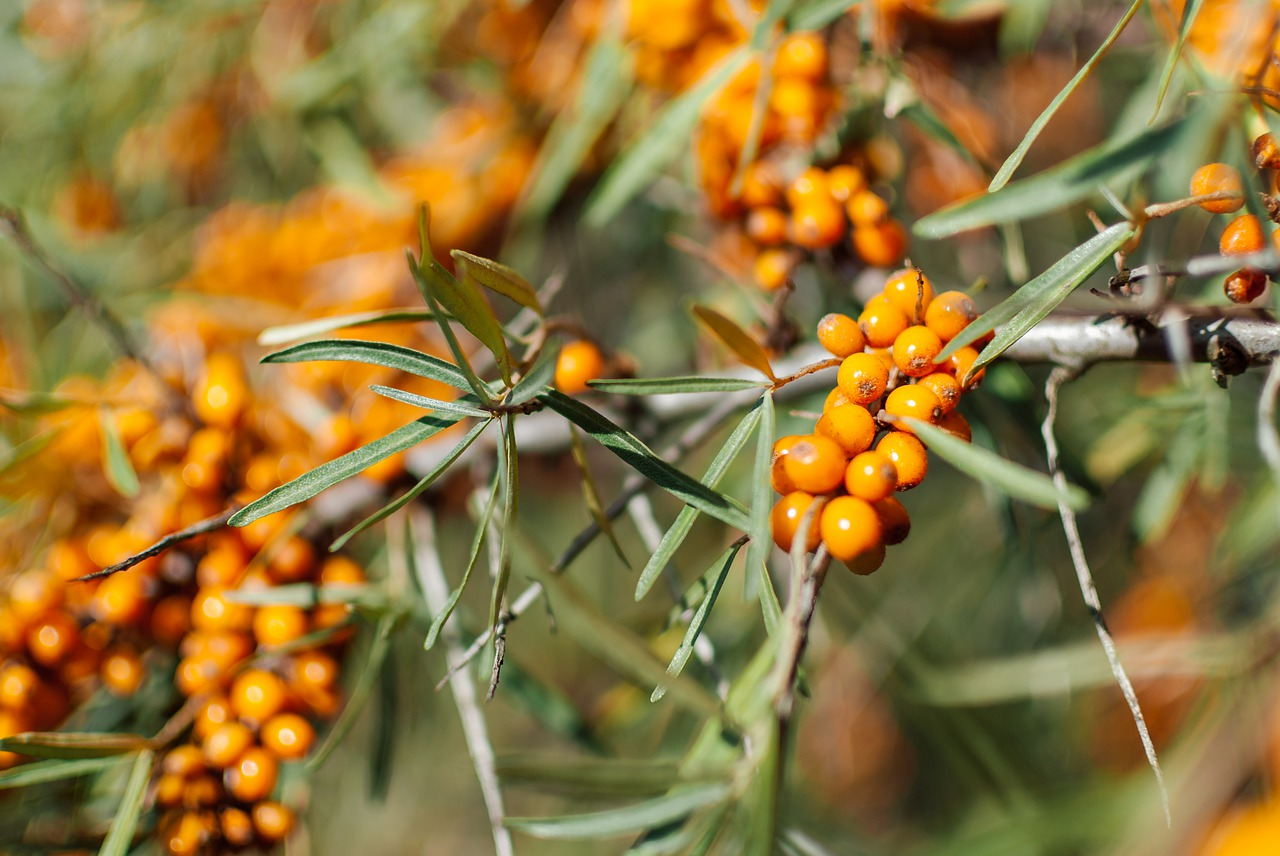 everything-that-you-wanted-to-know-about-sea-buckthorn